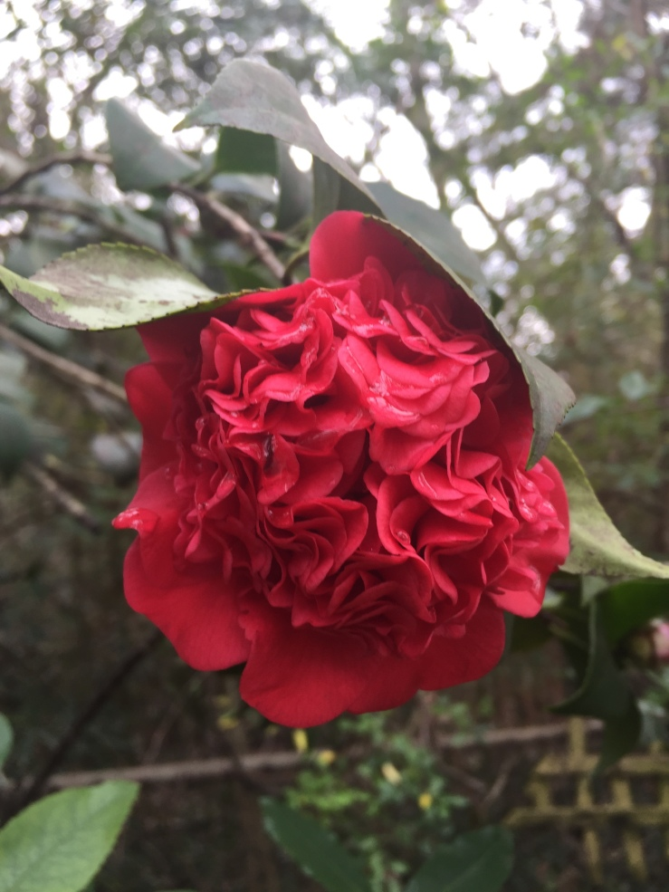 Camellia Jackson Mississippi Belhaven