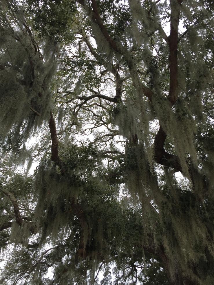 Spanish moss Sarasota Florida