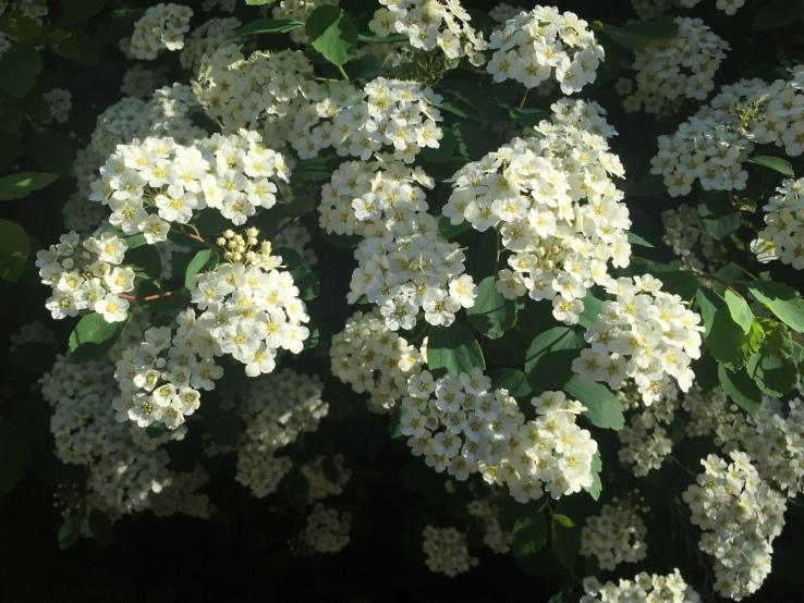 Oak Park Illinois Gardening Horseradish Armoracia Rusticana Flowers