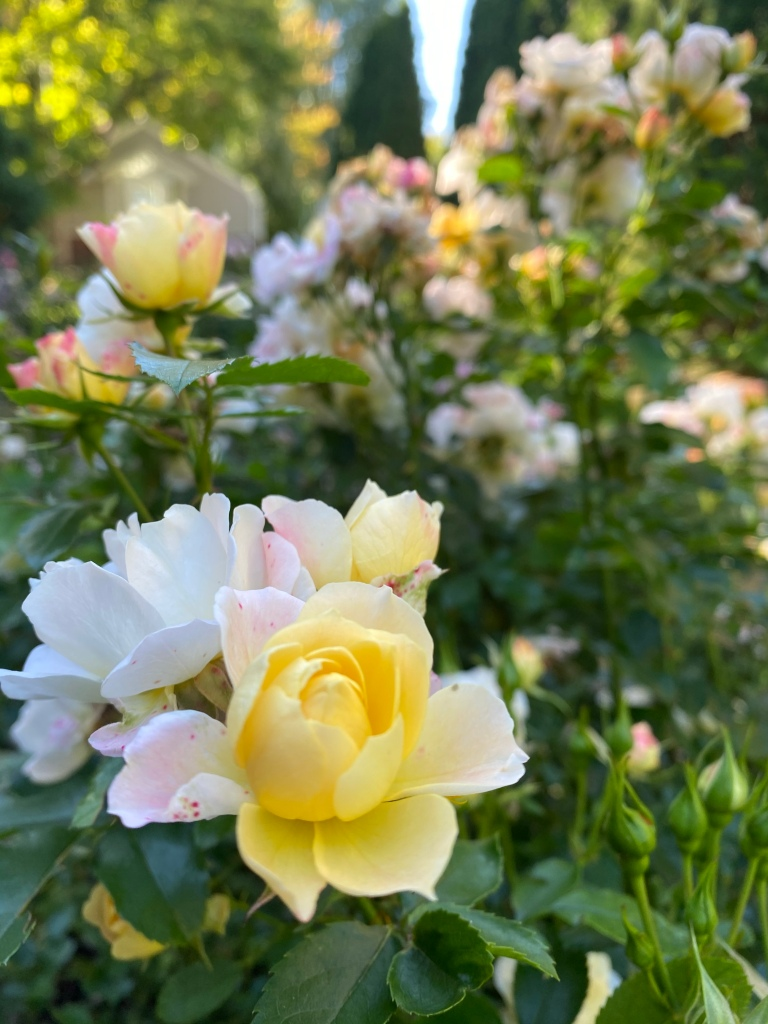 Roses at Cheney Mansion in Oak Park, Illinois