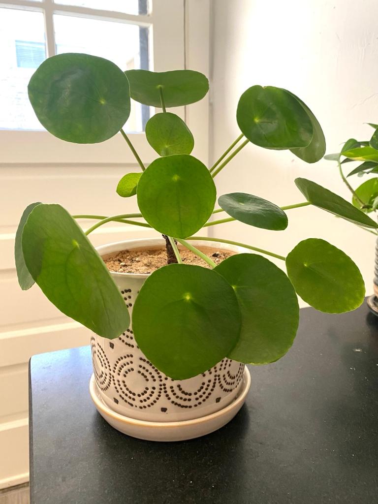 Pilea peperomioides houseplant in Oak Park, Illinois