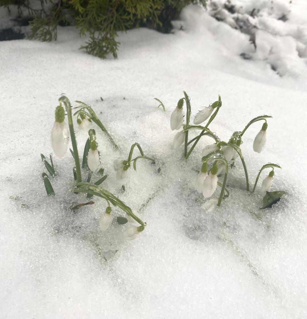 Snowdrops in Oak Park, Illinois