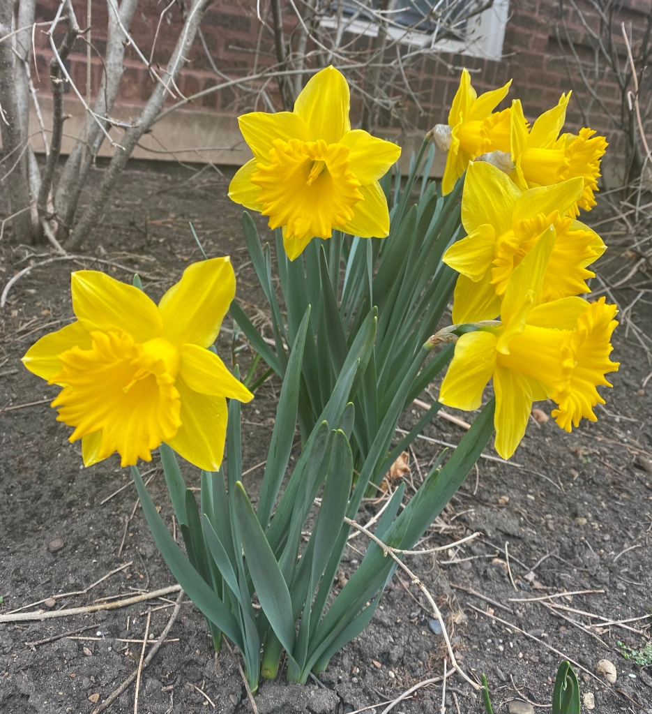 Daffodils in Oak Park, Illinois