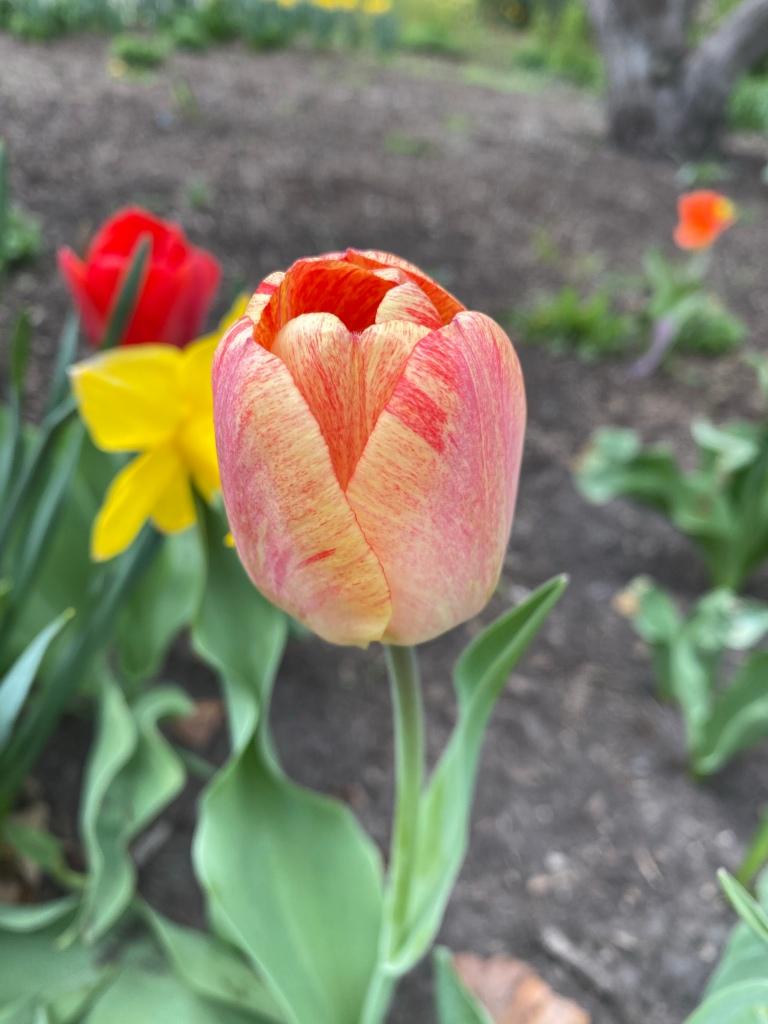 Cheney Mansion in Oak Park, Illinois. Springtime tulips.