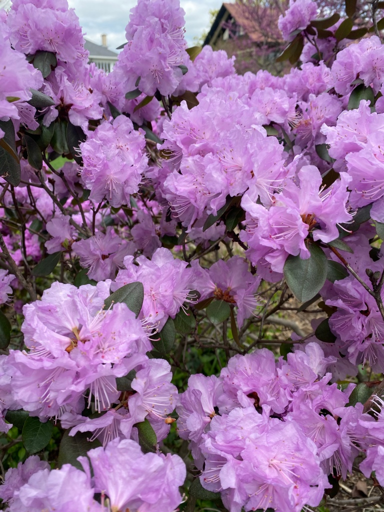 Cheney Mansion in Oak Park, Illinois. Rhododendron.